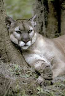 Florida panther, Felis concolor coryi, controlled, endangered specie, by Danita Delimont
