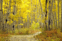 Road with autumn colors and aspens in Kebler Pass. by Danita Delimont