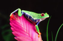 Red Eye Treefrog on Bromeliad, Agalychinis callidryas, Native to Central America von Danita Delimont