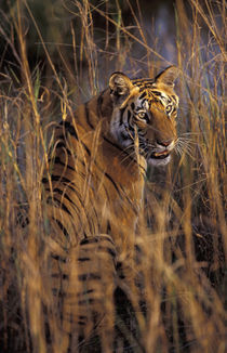 Asia, India, Bandhavagarth National Park by Danita Delimont