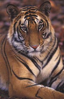 Asia, India, Bandhavagarth National Park Portrait of a 20-month-old male tiger von Danita Delimont