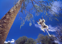 Verreaux's sifaka, Propithecus verreauxi, leaping to baobab by Danita Delimont