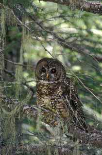 Spotted Owl in Mt. Hood Forest, Oregon, USA. von Danita Delimont