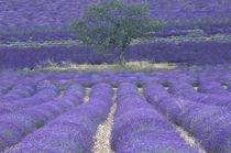 Europe, France, Provence, Sault Lavender fields von Danita Delimont