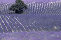 Europe, France, Provence, Sault region Lavender fields von Danita Delimont