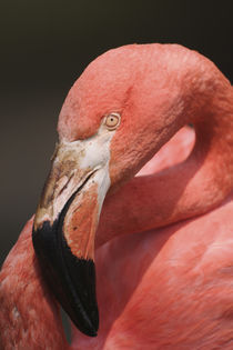 Chilean Flamingo, Phoenicopterus chilensis von Danita Delimont