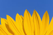 NA,USA,Washington State, Seattle, Sunflower in Blue Sky by Danita Delimont