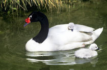 Black-necked swan adult and cygnets in water. (Captive) Credit as by Danita Delimont
