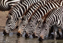 Zebras drinking, Equus quagga, Masai Mara Reserve, Kenya by Danita Delimont
