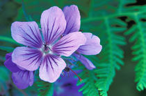 NA, USA, Alaska, Aleutian Islands, Wild geranium by Danita Delimont