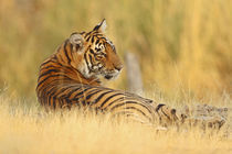 Royale Bengal Tiger sitting outside, Ranthambhor National Park, India by Danita Delimont
