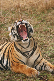 Royal Bengal Tiger yawning, Ranthambhor National Park, India. von Danita Delimont