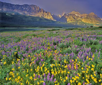 Meadow of wildflowers in the Valley of Glacier National Park, Montana von Danita Delimont