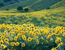 UTAH. USA. Arrowleaf balsamroot in bloom by Danita Delimont