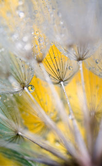 Seedhead with Raindrops. Credit as von Danita Delimont