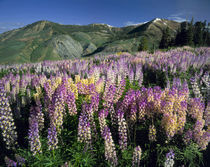 JARBIDGE WILDERNESS, NEVADA. USA. Spur lupine & wyethia by Danita Delimont
