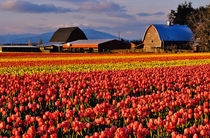 Commercial Tulip Field in the Skagit Valley of Washington von Danita Delimont