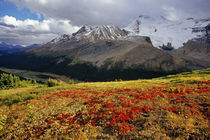 Bearberry in early autumn Athabasca Peak in the Canadian Rockies von Danita Delimont