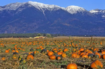 Flathead Valley Montana Pumpkin patch by Danita Delimont