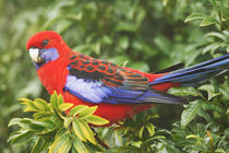 Crimson Rosella, O'Reilly's Rainforest, Lamington National Park by Danita Delimont