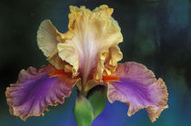 Michigan, Rochester Bearded Iris, domestic. von Danita Delimont