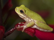 Squirrel treefrog on coral bean, Hyla squirella, Texas coastline von Danita Delimont