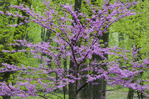 Redbud trees in full spring bloom near Defiance Ohio von Danita Delimont