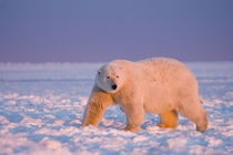 polar bear, Ursus maritimus, on ice and snow by Danita Delimont