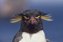 Rockhopper penguin, Eudyptes chrysocome, Falkland Islands by Danita Delimont