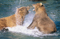 Two male Alaskan Brown Bears (Ursus arctos) battling in the water.  Brooks River by Danita Delimont