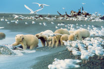 Polar Bears (Ursus maritimus) ,surrounded by Glaucous Gulls, North Slope by Danita Delimont