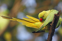 Roseringed Parakeet preening, Keoladeo National Park, India. by Danita Delimont