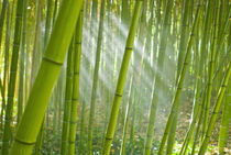 Morning sunlight filtering through bamboo grove in a botanical garden, Italy by Danita Delimont