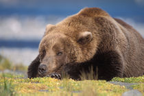brown bear, Ursus arctos, grizzly bear by Danita Delimont