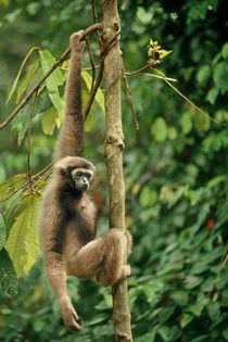 Bornean gibbon hanging from tree branch, Hylobates muelleri, Sepilok Reserve by Danita Delimont
