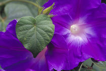 N.A., USA, Maui, Hawaii.  Morning Glory vine. by Danita Delimont