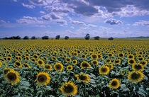 NA, USA, Kansas Sunflower crop