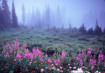 NA, USA, Washington, Foggy Alpine Meadow, Mt. Rainier National Park von Danita Delimont
