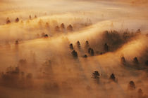 USA, Minnesota. Pine forest in morning fog. Credit as von Danita Delimont