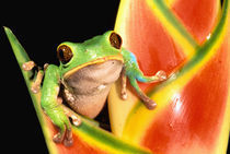South America, Ecuador, Amazon. Tree frog (Phyllomedusa tarsius) by Danita Delimont