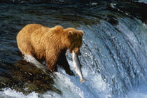 Alaskan Brown Bear Catching Salmon at Brooks Falls von Danita Delimont