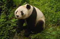 Giant panda (Ailuropoda melanoleuca) Family von Danita Delimont