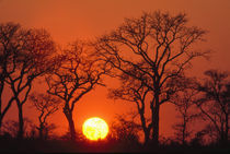 South Africa. Kruger National Park. Silhouette of trees as the sun sets by Danita Delimont