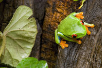 Red-Eyed Leaf Frog by Danita Delimont