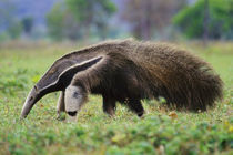 Giant anteater searching for termites, Myrmecophaga tridactyla, Pantanal, Brazil von Danita Delimont