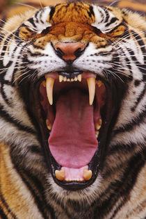 'Bengal Tiger, Tigris tigris' von Danita Delimont