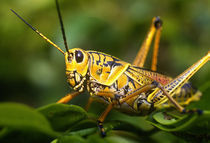 FLORIDA EVERGLADES GRASSHOPPER by Danita Delimont