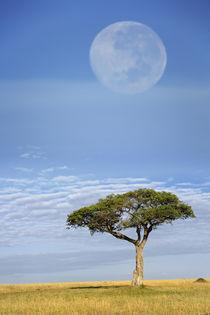Umbrella Thorn Acacia, Acacia tortilis von Danita Delimont