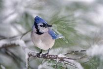 Blue Jay, Cyanocitta cristata von Danita Delimont