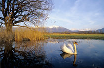 Mute Swan, Cygnus olor,adult with Alps in background by Danita Delimont